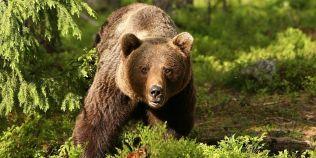 VIDEO Un urs a fost tranchilizat si apoi eliberat dintr-un gard in care ramasese captiv