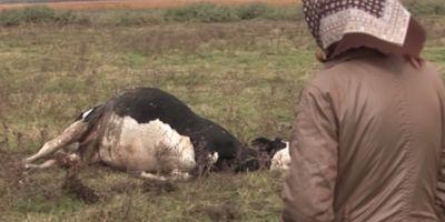 Teroare intr-un sat din Timis. Doua vaci, dintre care una gestanta, spintecate. Doi cai au supravietuit taieturilor: