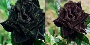 Legendele trandafirului. Musulmanii cred ca a izvorat din margele de sudoare ale profetului Mohammed